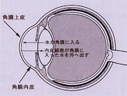 角膜内皮細胞の働き